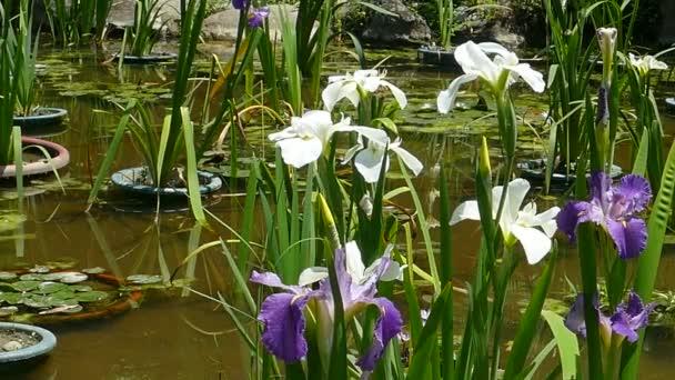 Close up of purple iris flowers