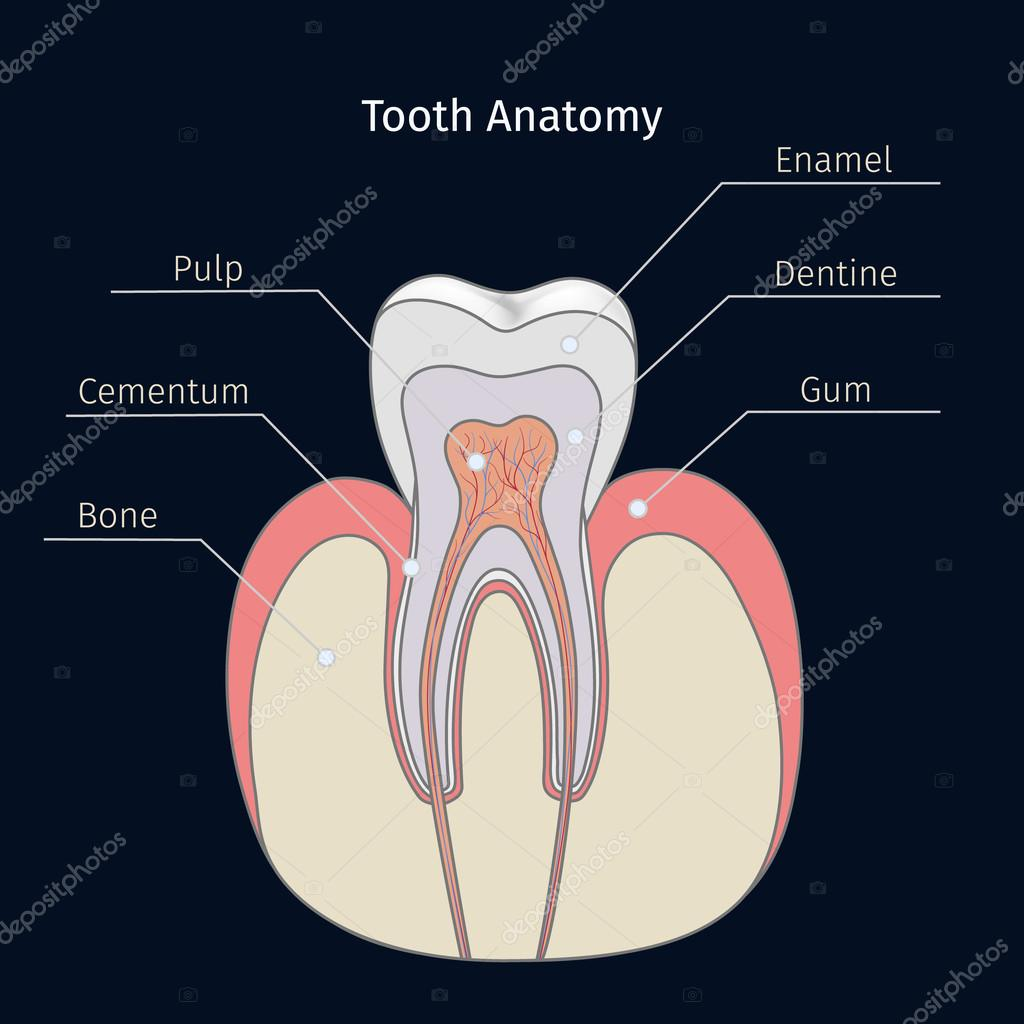 Anatomía dental sana — Vector de stock © whitehoune #103199388