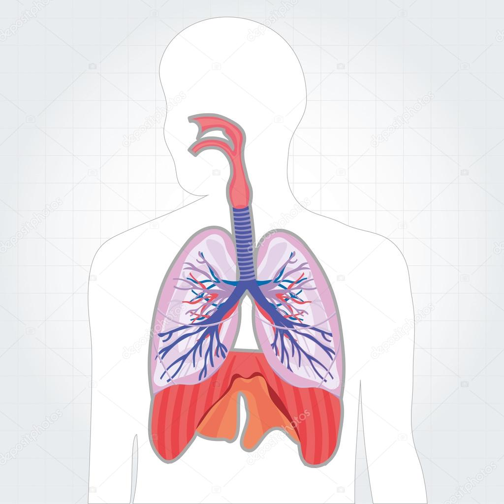 Respiratory system lungs vector human body illustration — Stock ...