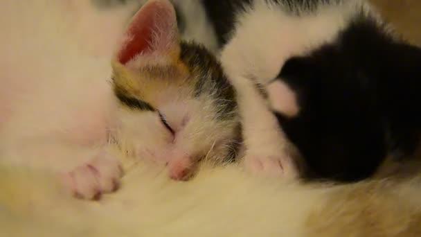 Cat kojení koťat