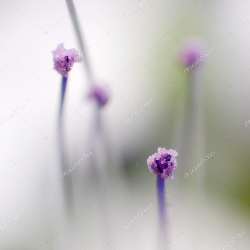 Pollen of Java tea flower, Orthosiphon aristatus — Stock Photo ...