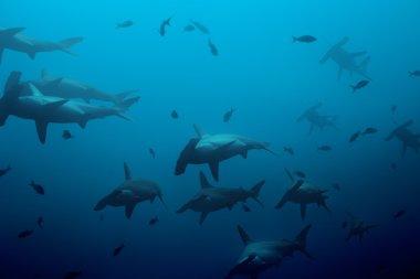hammerhead sharks in the blue ocean