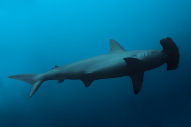 hammerhead shark in ocean