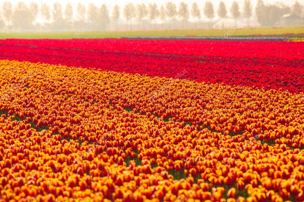 Colorful tulip field