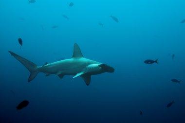 One hammerhead shark