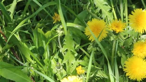Pampelišky květiny snímek