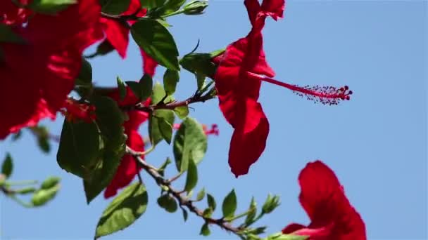 ibišek červený květ záběr