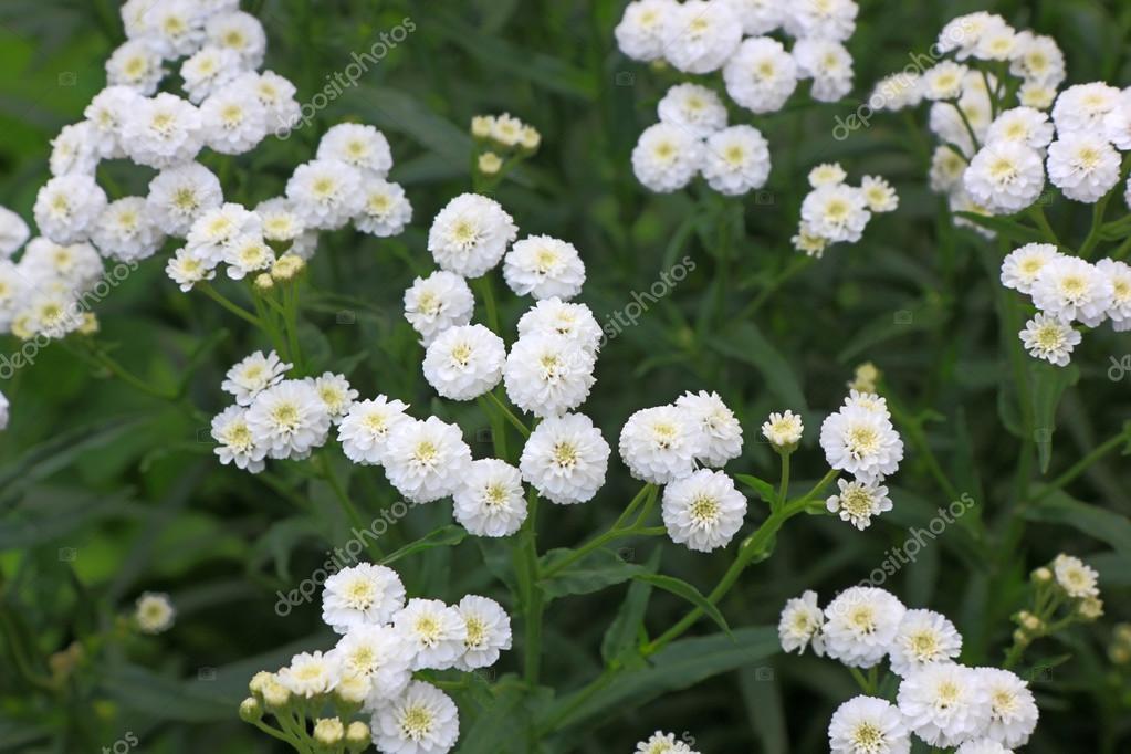 Kleine weiße Busch mehrjährige Blumen auf dem Hintergrund ihrer fo ...
