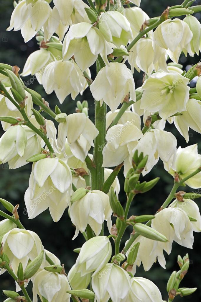 Fleurs De Yucca Filamentosa Photographie Drtrig C 70322791