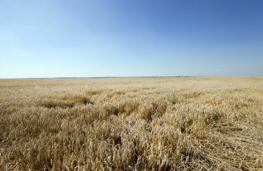field   ripe wheat