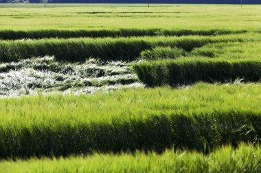 destruction of green cereals