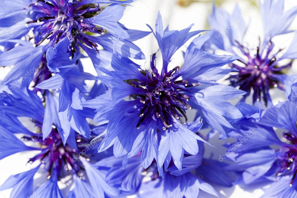 blue cornflower , closeup