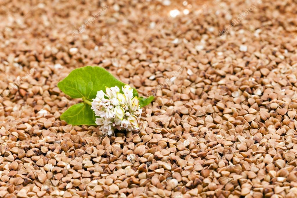 buckwheat , close up