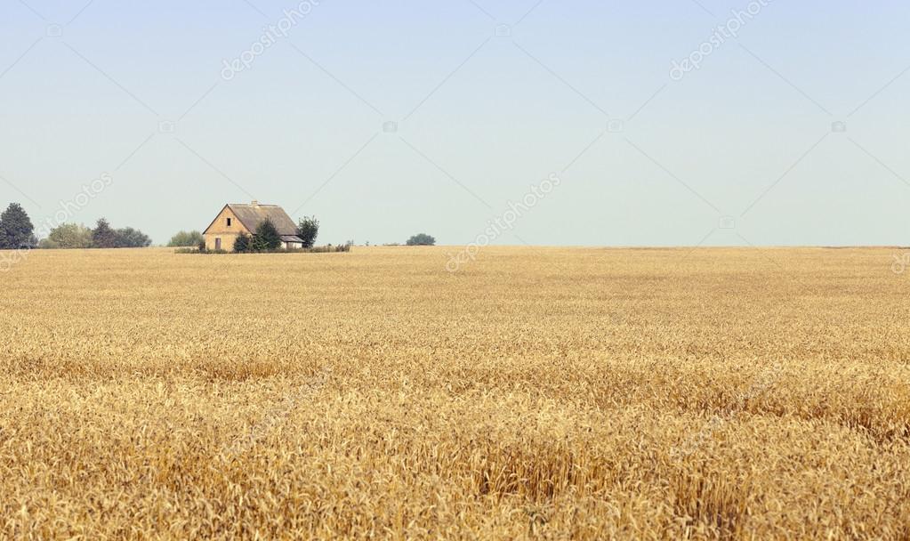 ripe wheat crop