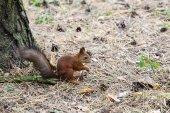 Fotografia scoiattolo