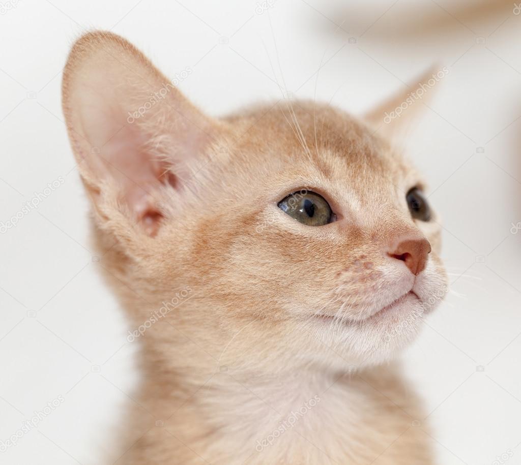 Gato Abisinio. fawn color — Fotos de Stock © ligora #88175004