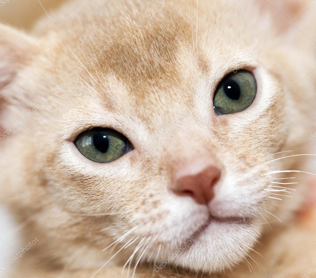 Gato Abisinio. fawn color — Foto de stock © ligora #88175098