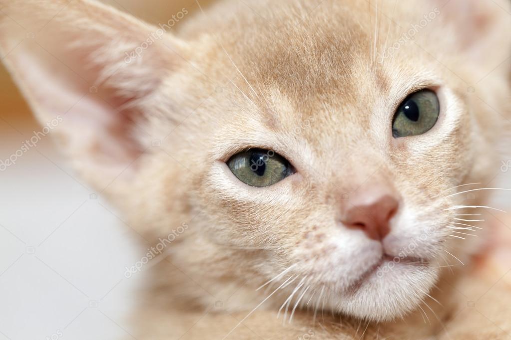 Abyssinian Kitten Color Fawn Stock Photo C Ligora 88175196