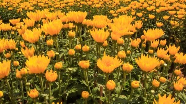 chryzantéma kvetoucí květiny