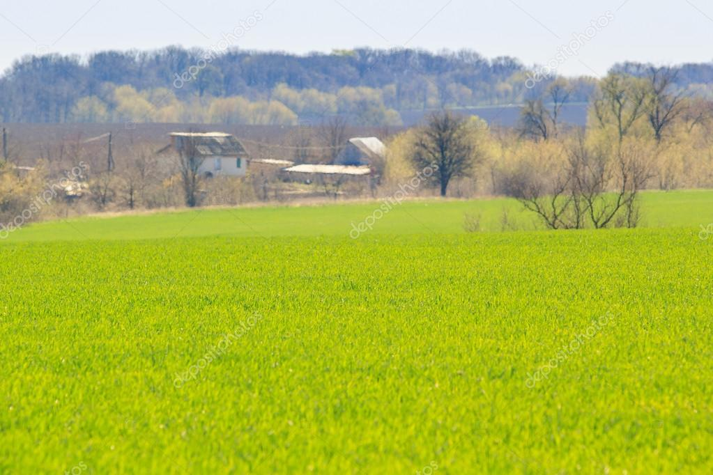 view of green field of winter wheat in early spring