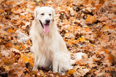 junger Golden Retriever Hund