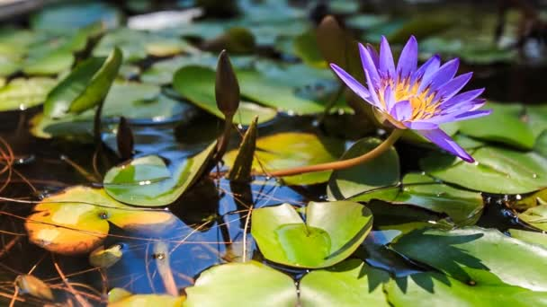 blooming lily in pond