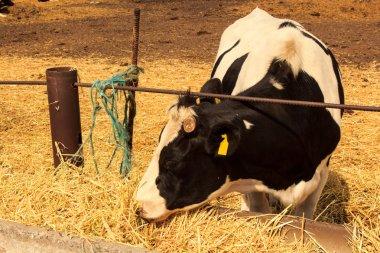 cow eat hay