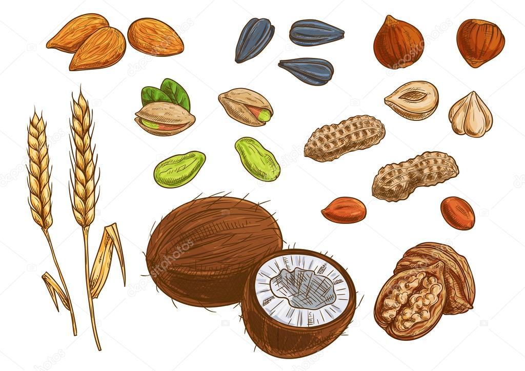 Dibujo Del Grano De Trigo: Frutos Secos, Cereales Y Granos