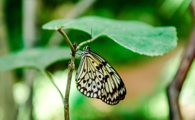 Tree Nymph butterfly hanging on a green leaf