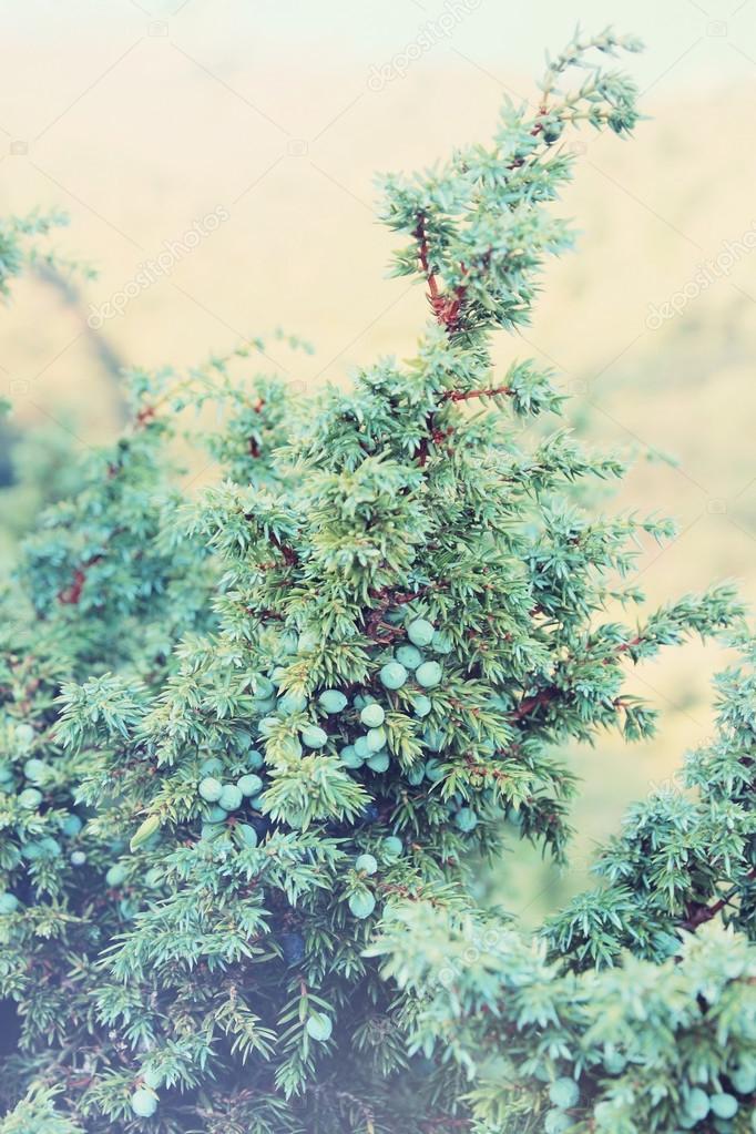 Healing juniper