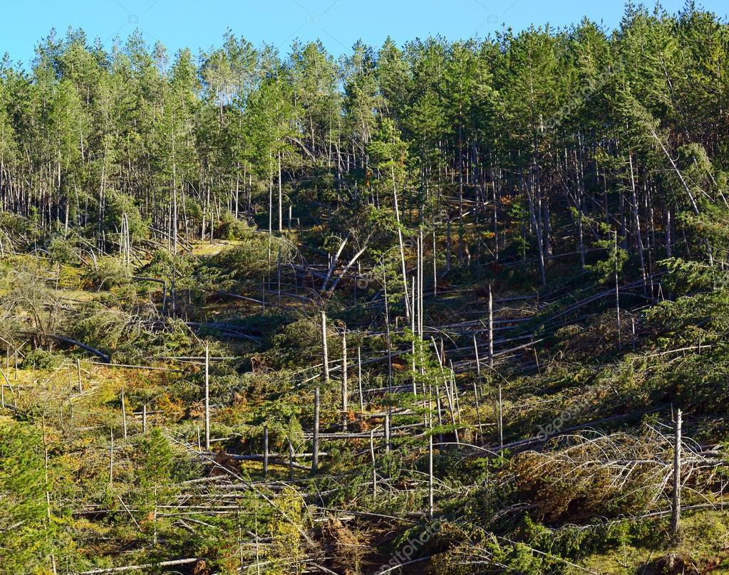 Image result for fallen pine trees