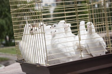 white doves on a sunny day in a wooden cage