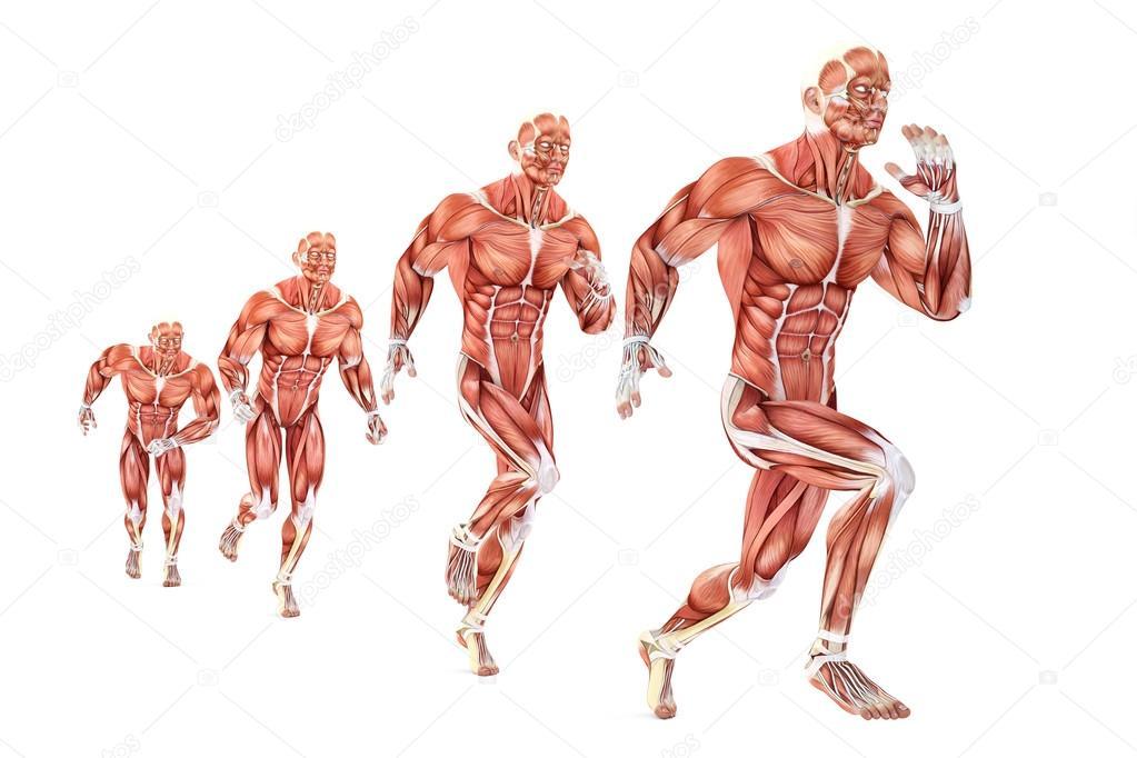 Anatomía de hombre corriente. Ilustración médica. Aislado. Contiene ...