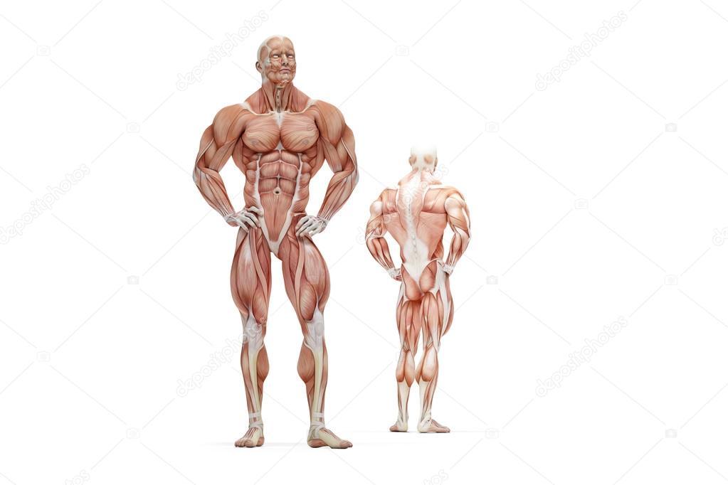 Ilustración 3D de la anatomía humana del músculo. Aislado. Contiene ...