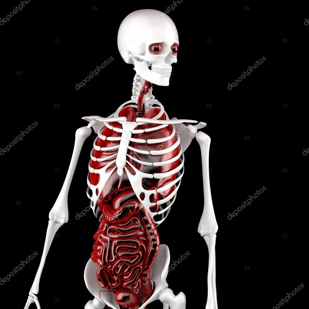 Human Male Anatomy. Skeleton and Internal Organs. 3D illustratio ...