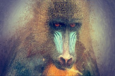 Sketch of the adult mandrill.