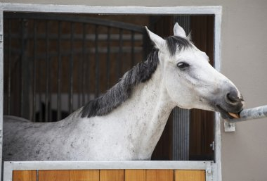 Racing horse in the stable