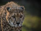 Portrét divoký gepard hlídkování