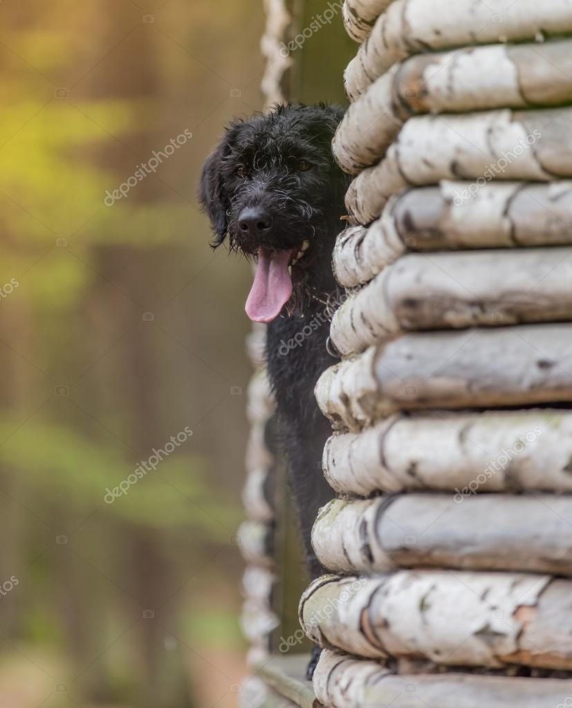 Beautiful mutt black dog Amy in forest hut