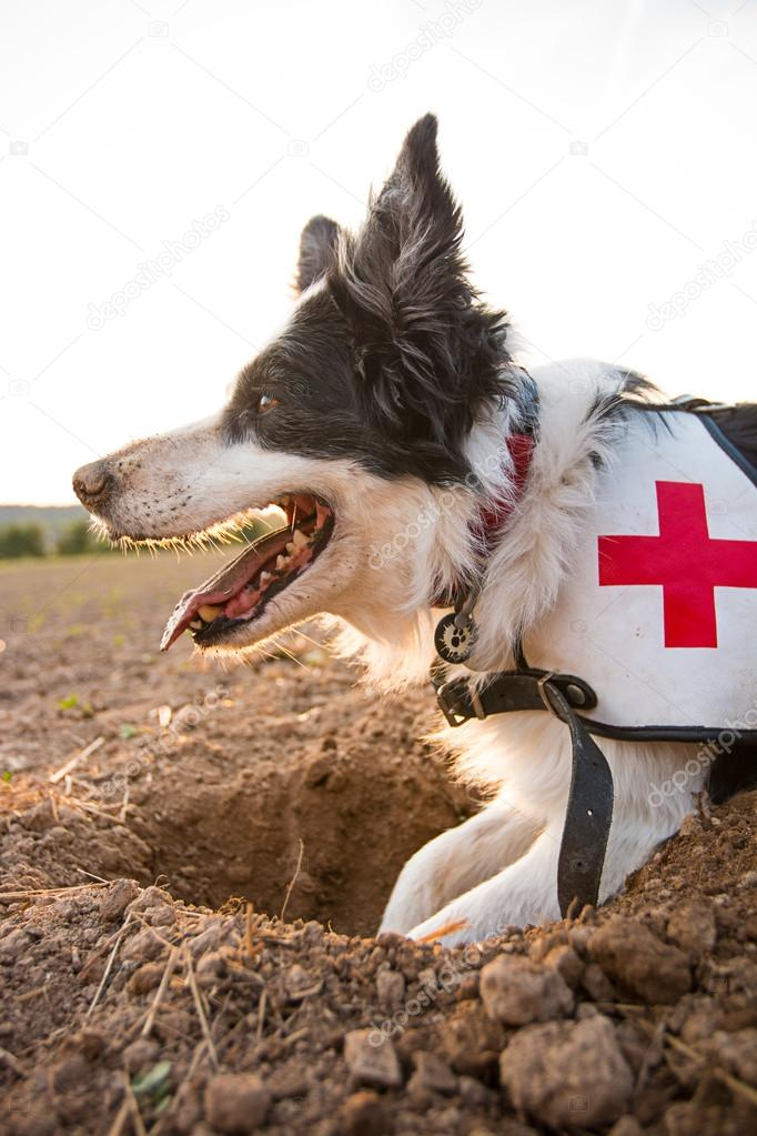 Rescue border collie dog outside.