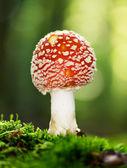 Rote Amanita-Muskaria