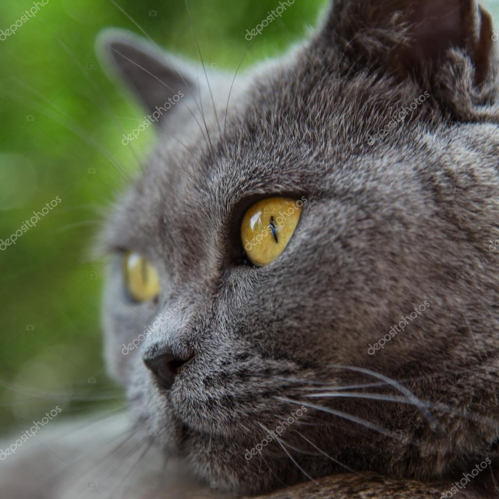 Portrait of british blue cat — Stock © Kesu01