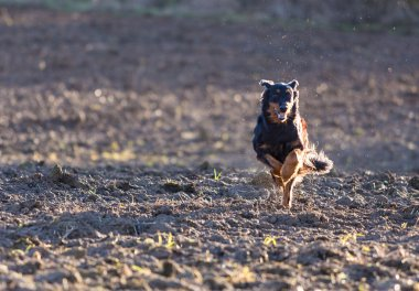 Beautiful hovawart black dog running