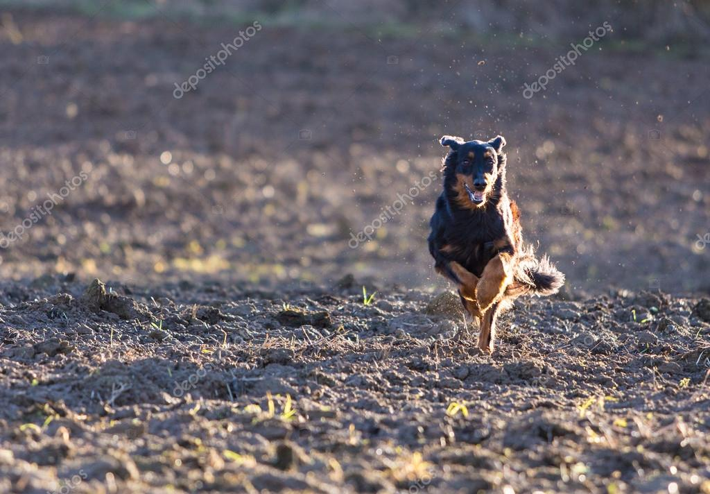 Beautiful hovawart black dog running