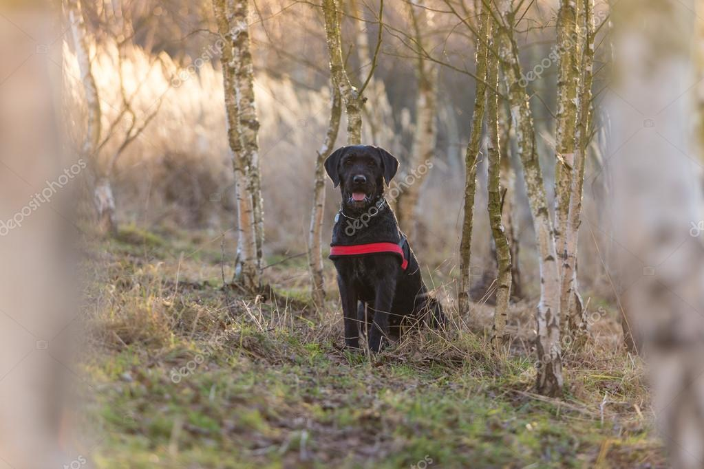 Beautiful mutt black dog Amy in forest