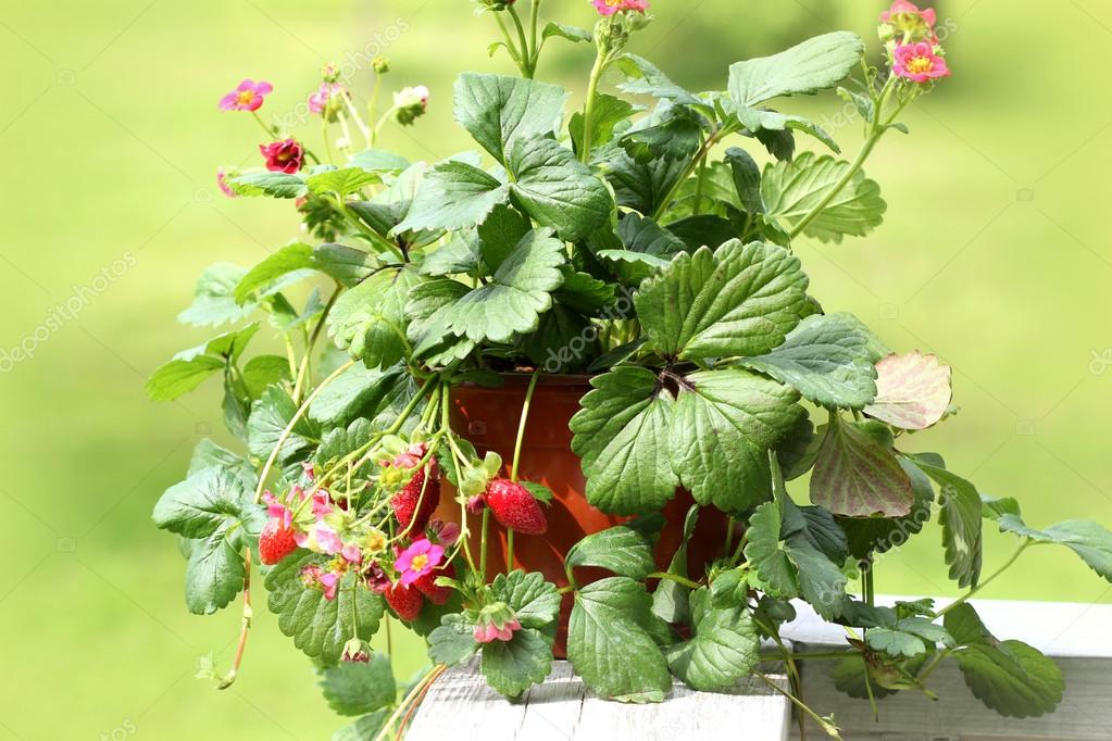 Strawberry plant with pink flowers in pot stock photo vaivirga strawberry plant with pink flowers in pot stock photo mightylinksfo