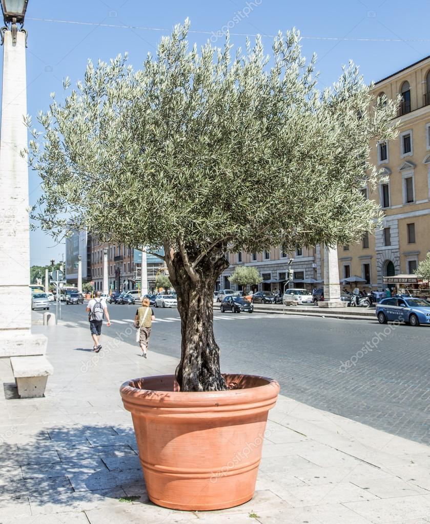 Atemberaubend Olivenbaum im Topf auf der Straße — Stockfoto © Valentyn_Volkov #NL_74