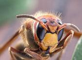 Fotografia Colpo a macroistruzione del calabrone o giacca gialla