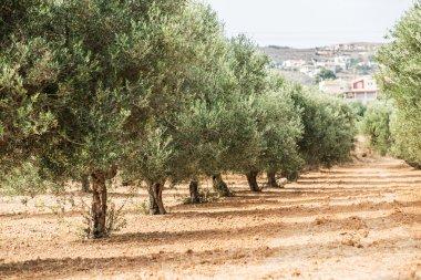 Olive trees garden.
