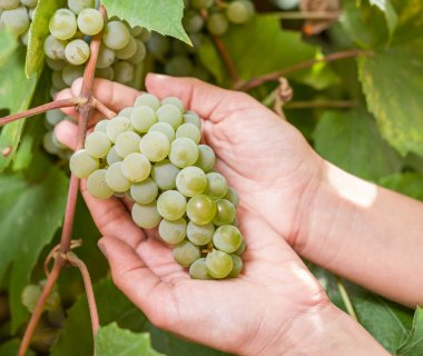 Bunch of white grapes on the vine.
